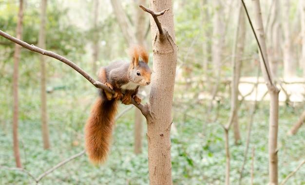 Close de um esquilo em um galho de árvore com uma floresta ao fundo