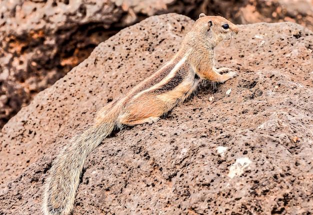 Close de um esquilo fofo em uma rocha enorme