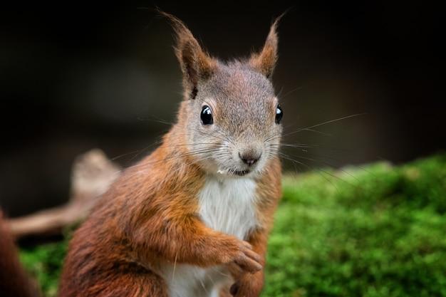 Close de um esquilo-vermelho em uma floresta cercada por vegetação com um fundo desfocado
