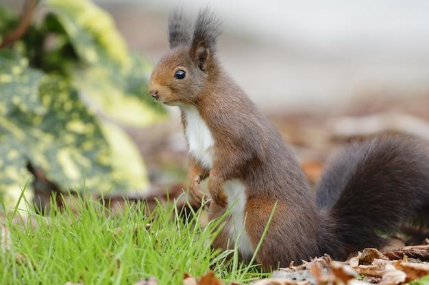 Close de um esquilo-vermelho parado no chão sob a luz do sol