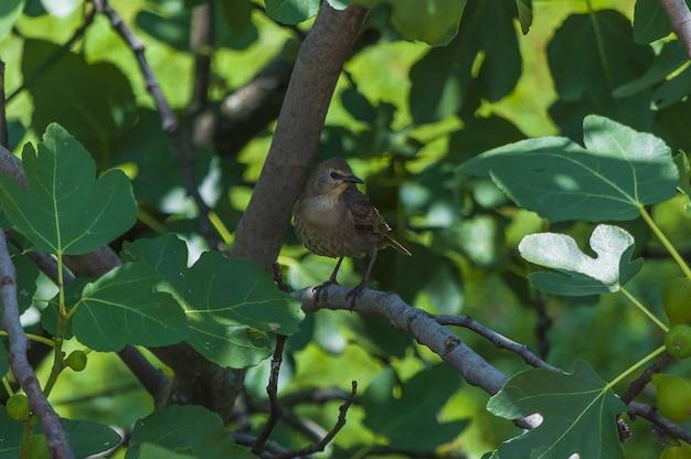 Close de um estorninho comum sentado em uma planta chamada figo comum