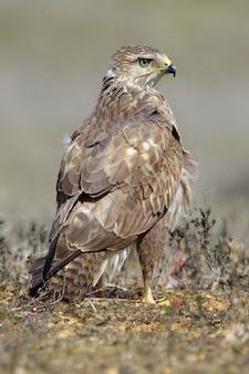 Close de um falcão marrom em uma grama seca contra um fundo desfocado