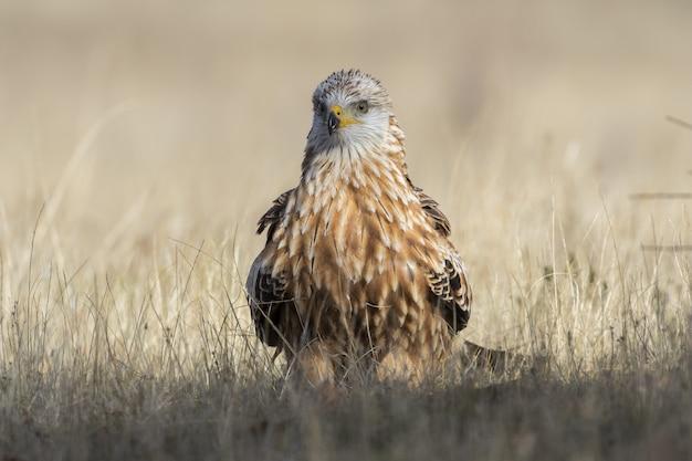 Close de um falcão marrom em uma grama seca