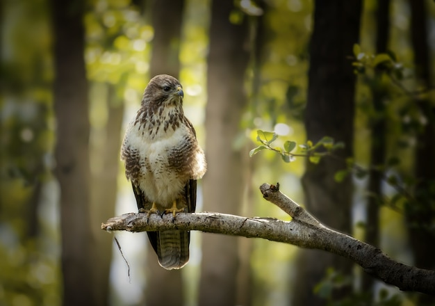 Close de um falcão zangado em um galho de árvore na floresta