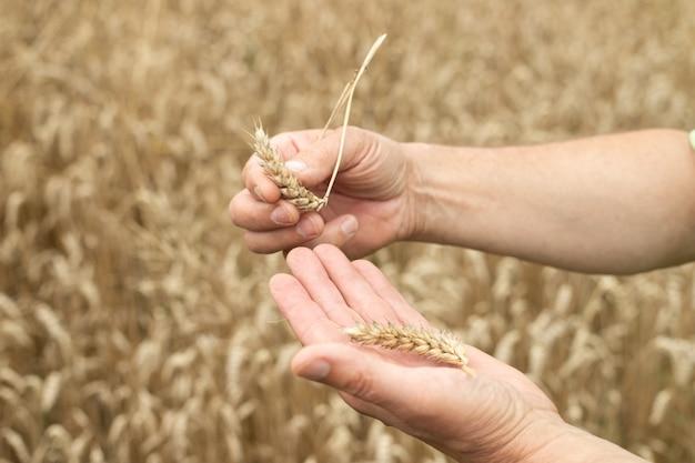 Close de um fazendeiro mostrando seu trigo