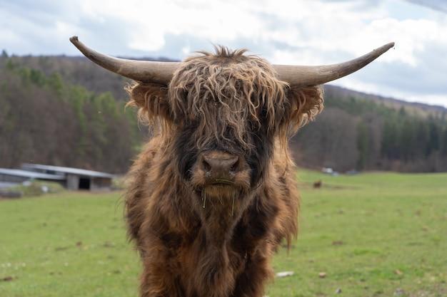Close de um gado das terras altas em um campo de fazenda sob um céu nublado na turíngia, alemanha