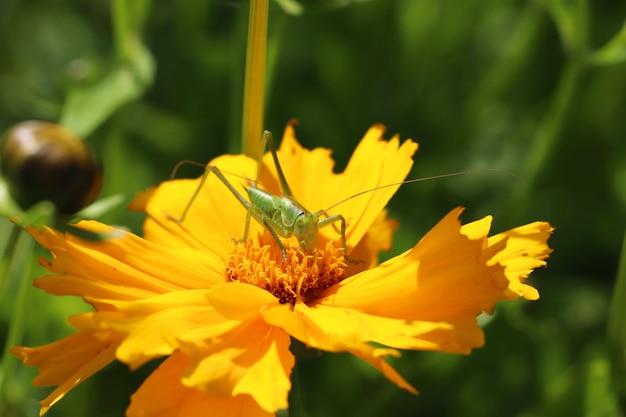 Close de um gafanhoto em uma flor amarela