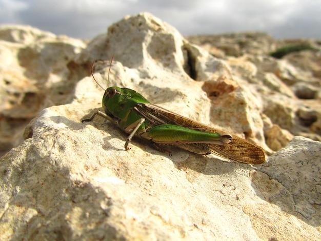 Close de um gafanhoto migratório em uma rocha sob o sol