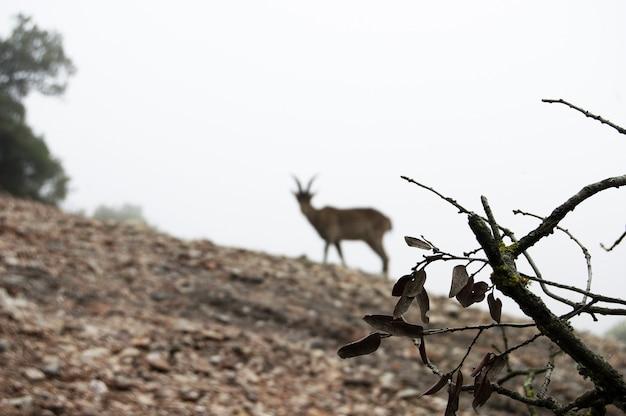 Close de um galho com uma cabra turva em pé em uma colina
