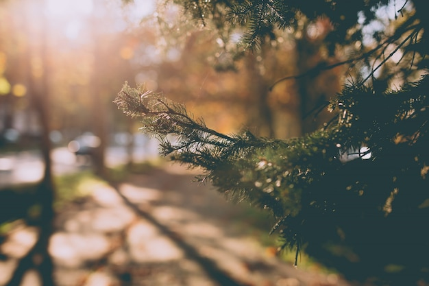 Close de um galho de árvore de pinheiro