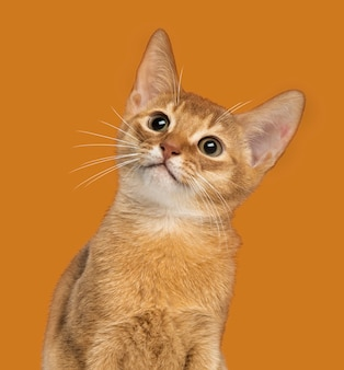 Close de um gatinho abissínio olhando para cima em uma laranja
