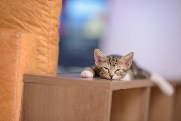 Close de um gatinho doméstico sonolento em uma prateleira de madeira