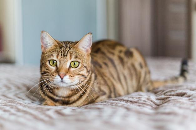 Close de um gato bengala doméstico fofo deitado em uma cama
