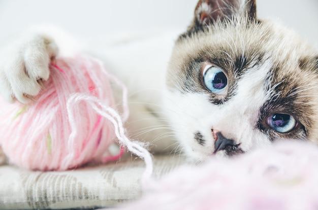 Close de um gato branco e marrom com olhos azuis brincando com um fio