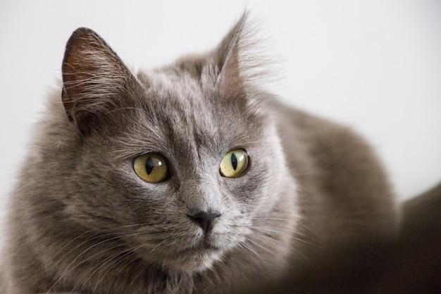 Close de um gato cinza com olhos verdes