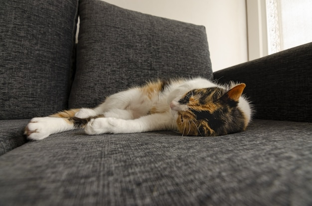 Close de um gato de três cores descansando no sofá