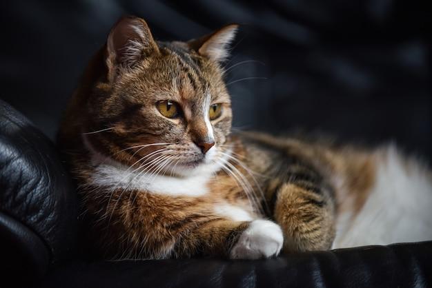 Close de um gato europeu de pêlo curto deitado em um sofá de couro preto