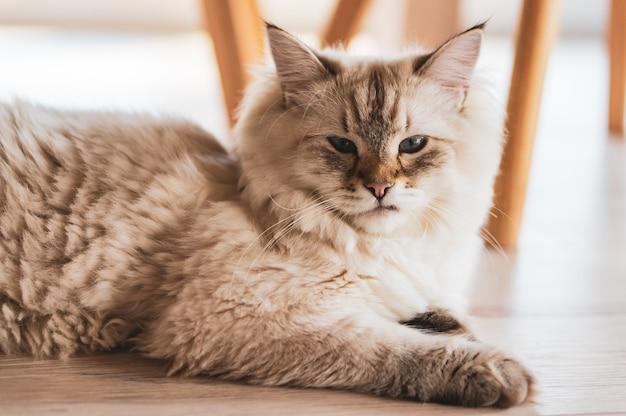 Close de um gato fofo deitado no chão de madeira com um olhar orgulhoso