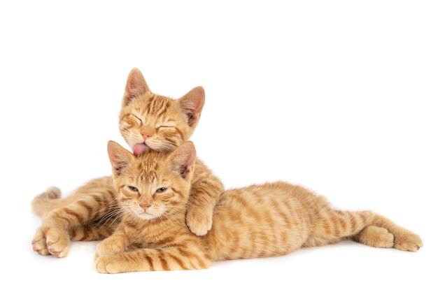 Close de um gato ruivo abraçando e lambendo o outro, isolado em uma parede branca