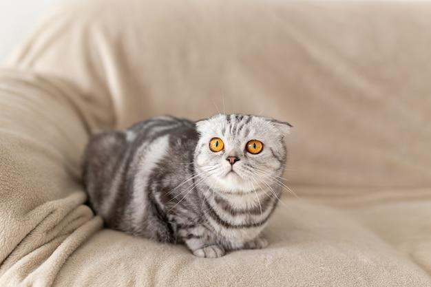 Close de um gato scottish fold cinza fofo de olhos castanhos sentado no sofá e explorando um novo apartamento