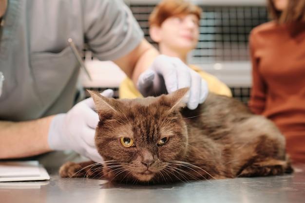 Close de um gato sentado à mesa com o veterinário cuidando dele