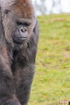 Close de um gorila pensando profundamente
