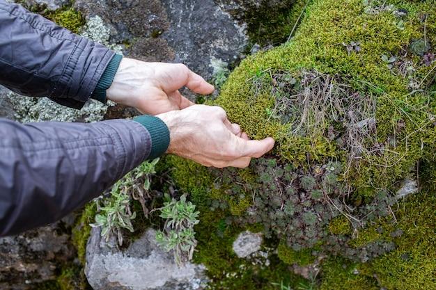 Close de um homem mãos arrancando musgo de pedras na floresta.