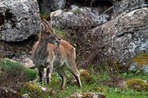 Close de um íbex ibérico em um vale coberto de pedras e grama durante o dia