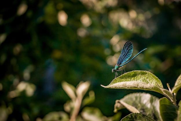 Close de um inseto azul com asas de rede sentado em uma folha