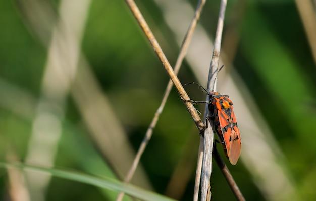 Close de um inseto soldado vermelho em galhos secos em um campo sob a luz do sol em malta
