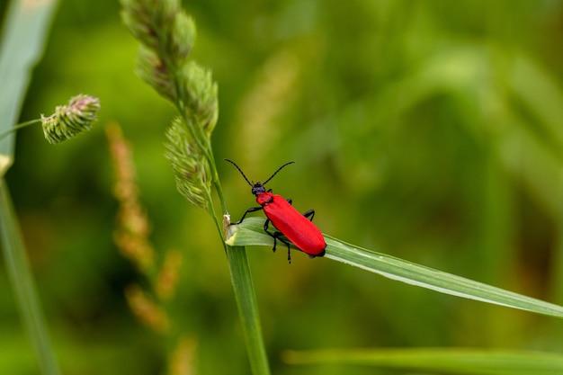 Close de um inseto vermelho em cima de uma grama verde