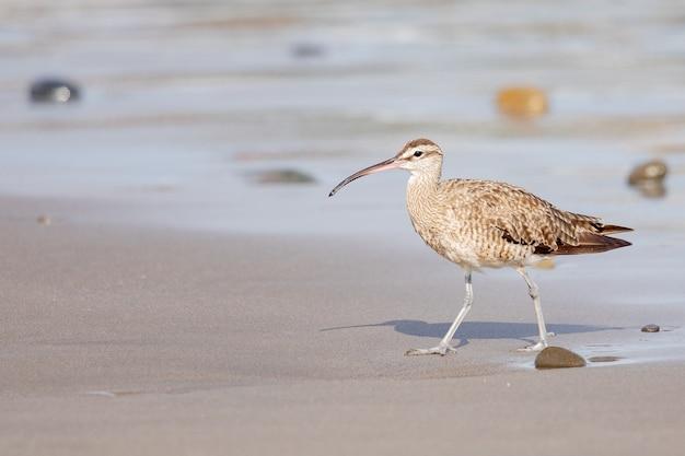 Close de um jovem maçarico com seu bico longo e fino, caminhando na praia