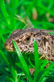 Close de um lagarto-da-areia (lacerta agilis) rastejando na grama