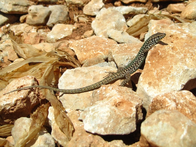 Close de um lagarto maltês rastejando nas rochas sob a luz do sol durante o dia em malta