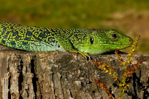 Close de um lagarto ocellated sob a luz do sol