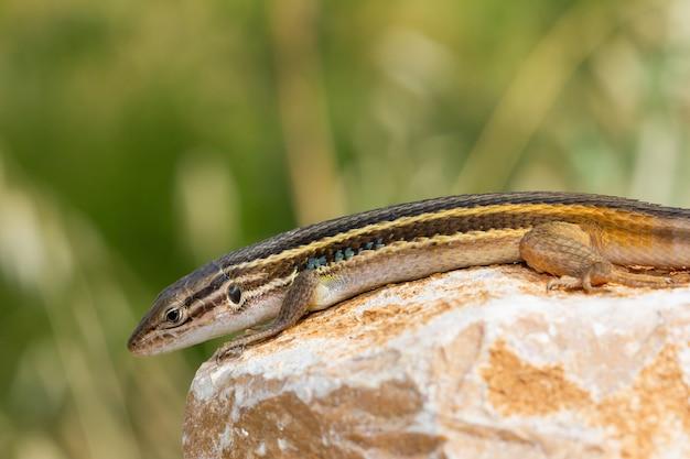 Close de um lagarto psammodromo argelino em uma rocha em um campo