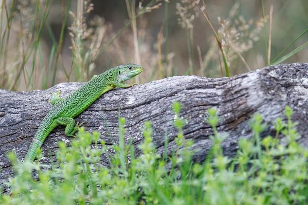 Close de um lagarto verde em um tronco de árvore em uma floresta