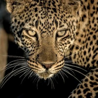 Close de um leopardo bebendo no rio no parque nacional do serengeti