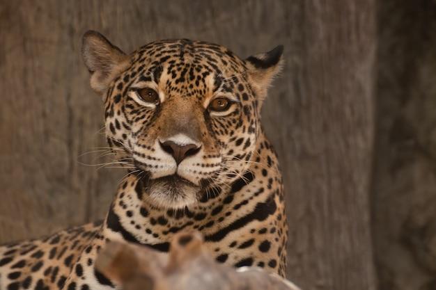 Close de um leopardo