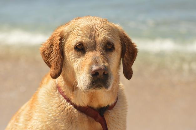 Close de um lindo cachorro dourado