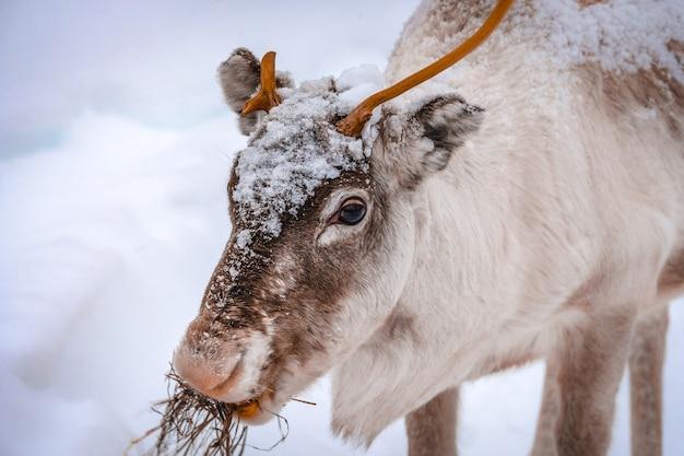 Close de um lindo cervo em um terreno coberto de neve na floresta no inverno