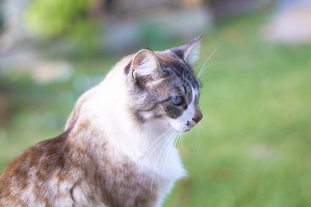 Close de um lindo gato branco e marrom de olhos azuis com um fundo desfocado