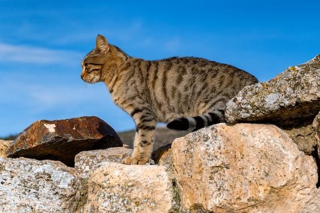 Close de um lindo gato doméstico cinza na parede de pedra