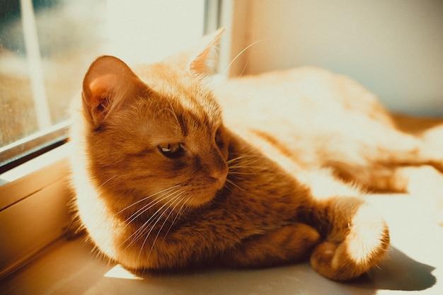 Close de um lindo gato dourado deitado no parapeito da janela