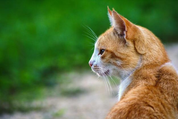 Close de um lindo gato ruivo