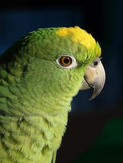 Close de um lindo papagaio verde e amarelo contra um fundo escuro