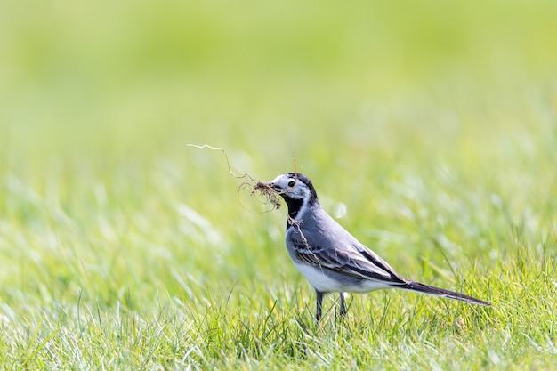 Close de um lindo passarinho parado na grama verde com um galho no bico