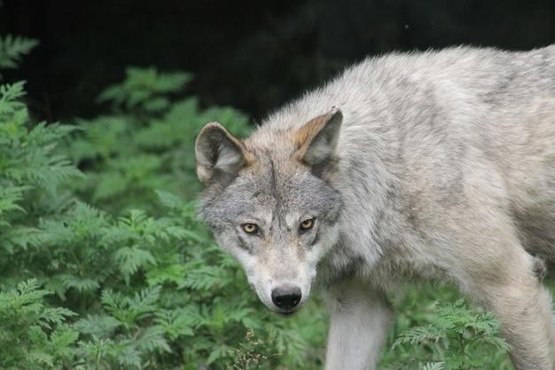 Close de um lobo cinzento com uma aparência feroz e vegetação ao fundo