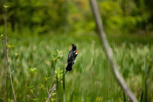 Close de um melro de asa vermelha bonito, sentado em um galho com um fundo gramado turva