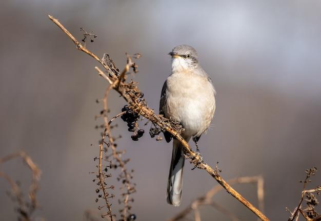Close de um mockingbird do norte em um galho em um campo sob a luz do sol